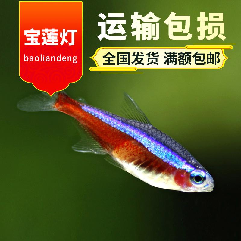 热带鱼观赏鱼活体宝莲灯红莲灯小型鱼淡水群游鱼宠物鱼草缸鱼包活