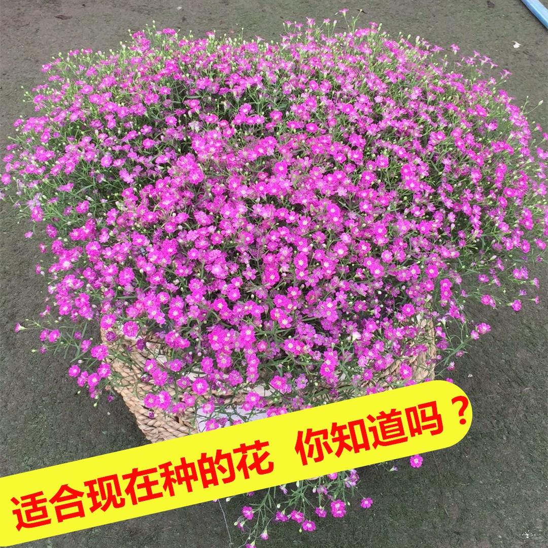 满天星种孑盆栽室内好养易活的花种子花籽四季开花花卉花种籽子