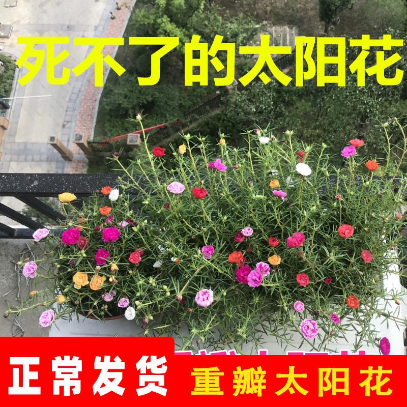 重瓣太阳花花种子花籽四季开花春天花卉易活室外种孑七彩花种籽子