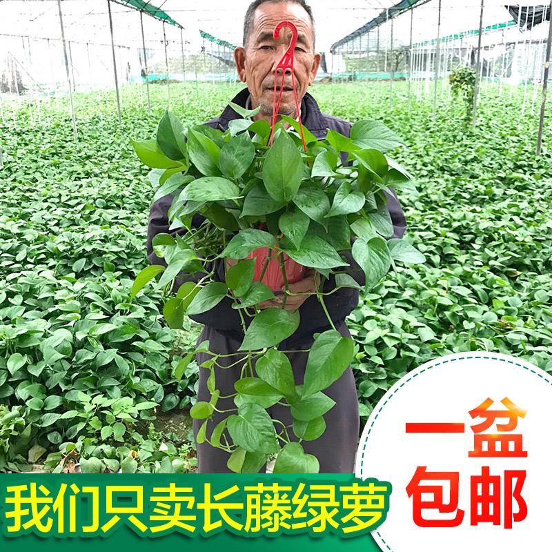 绿萝盆栽吊兰植物室内吸甲醛防辐射客厅长藤大叶绿航花卉水培绿植