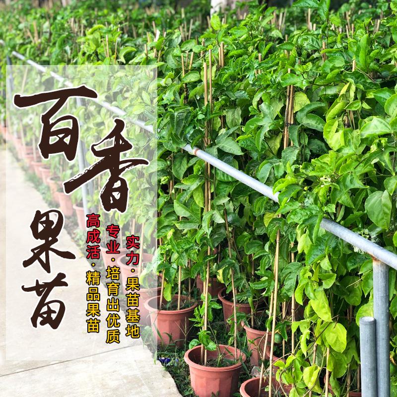 百香果苗爬藤盆栽庭院鸡蛋树果苗