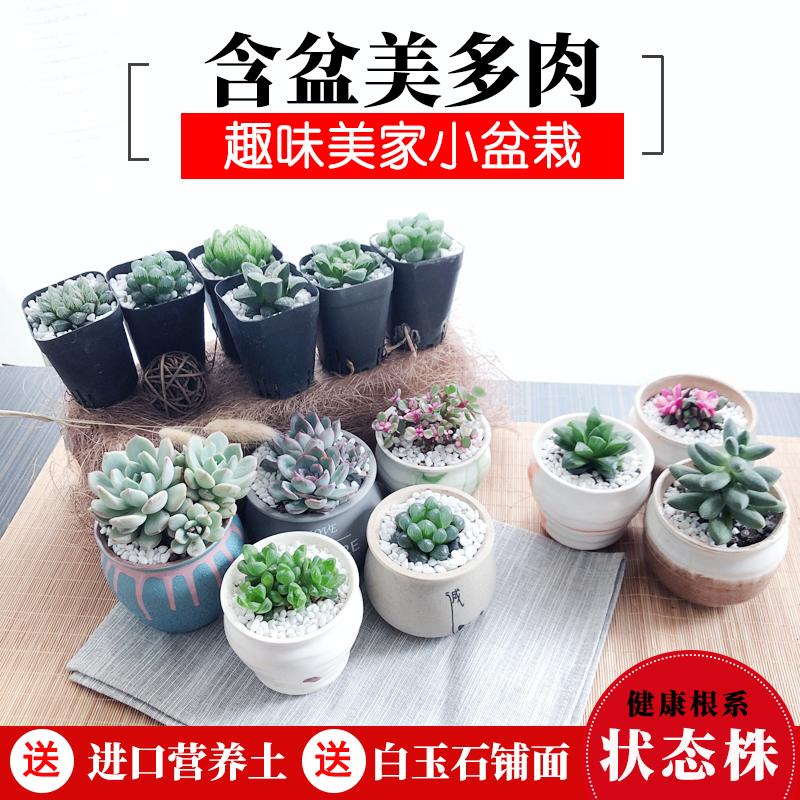 芙洛拉多肉植物新手组合玉露盆栽花卉植物室内肉肉植物套餐绿植