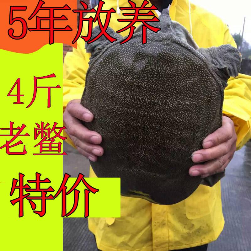 【4斤大甲鱼】5年外塘大甲鱼活体免邮水鱼野外放养中华鳖鲜活王八