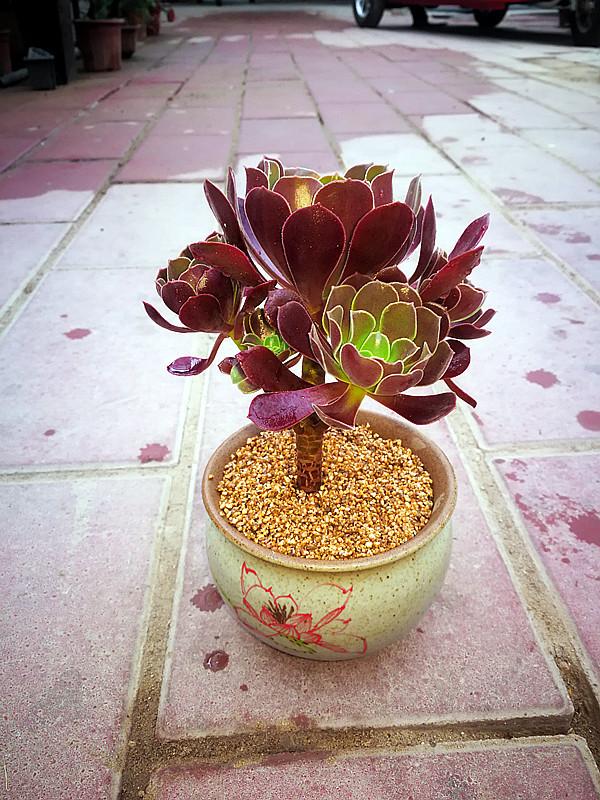 多肉植物组合盆栽 欧版紫羊绒 圆叶法师 黑法师 手捧花法师
