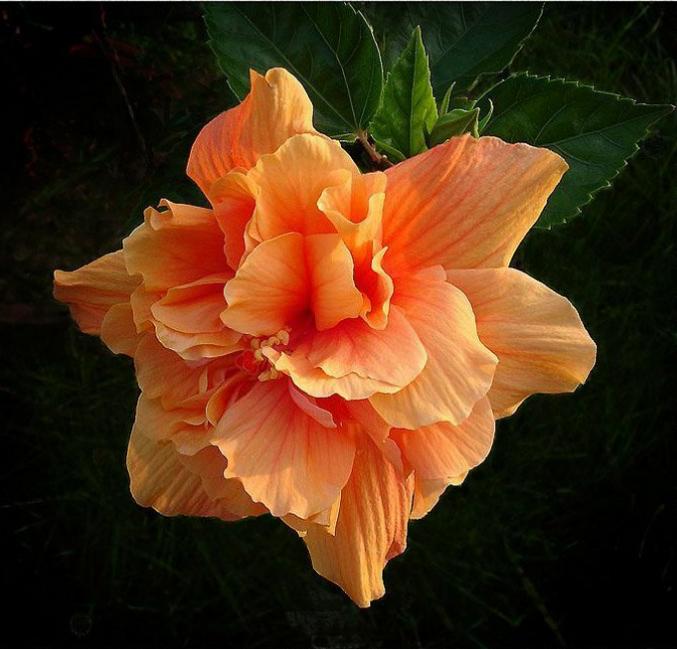 大花桔黄重瓣扶桑,朱槿牡丹,牡丹花型,花多,花期长