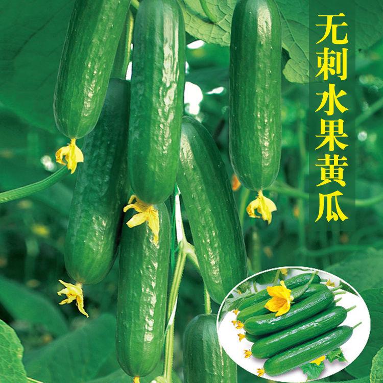 改良水果黄瓜种子 四季播甜脆青瓜种子小黄瓜种子 四季蔬菜种子