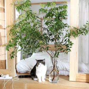超级日本马醉木水培办公端午节枝条
