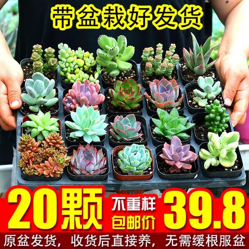 多肉植物の20鉢のセットは大きいサイズで、斤で組のたらいを販売して組み合わせます。