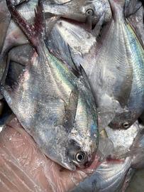 【闹妈海鲜】舟山东海白鳞鲳鱼 一斤5-6条左右 活动价图片