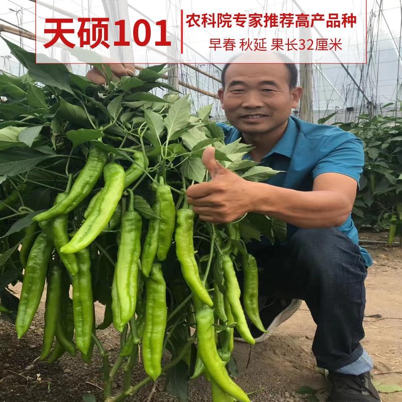 天硕101特大羊角椒螺丝四季春播盆栽线朝天螺丝辣椒蔬菜苗种子籽