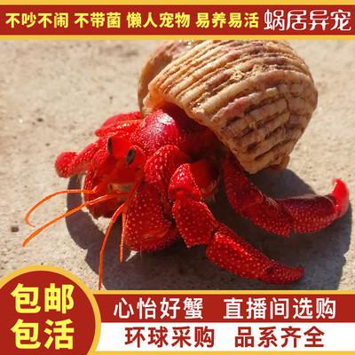 陆生超大草莓灰白短腕寄居蟹观赏虾蟹活物懒人宠物蟹包邮包活