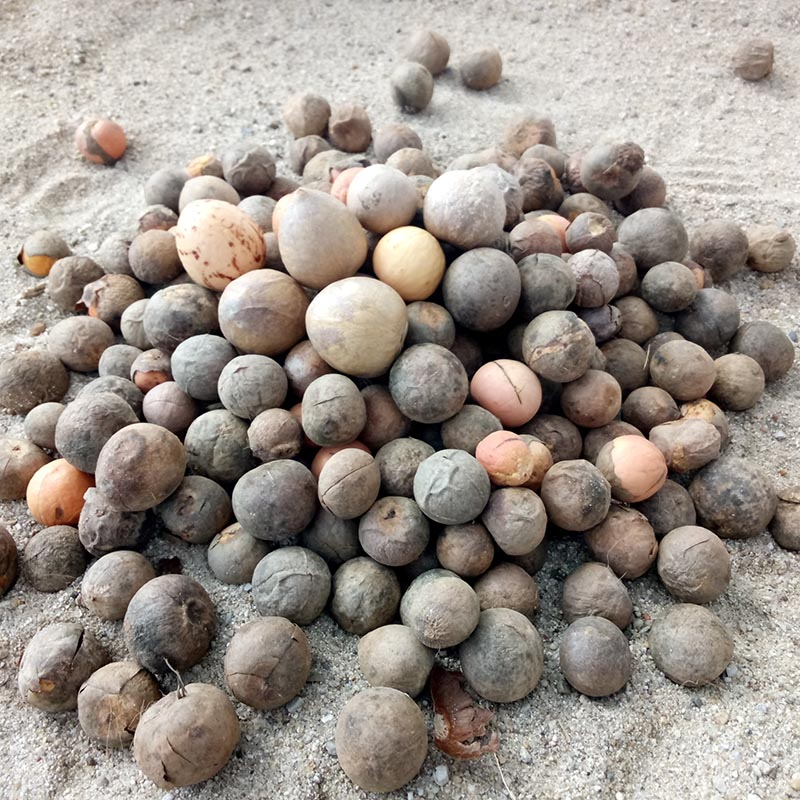 缅甸牛油果油梨鳄梨果核种子可育苗种植25粒装
