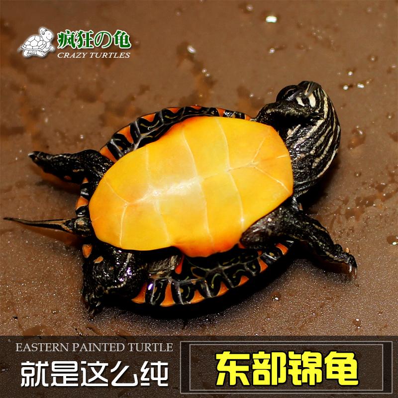 疯狂的龟 东锦龟 西锦龟  红纹锦龟 宠物龟深水观赏龟 活体 包邮