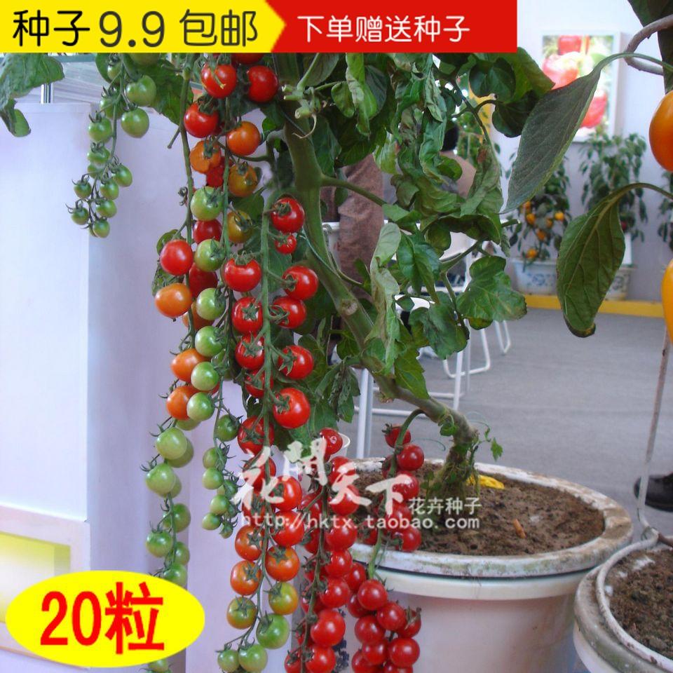 串番茄种子 蔬菜种子阳台盆栽珍珠水果迷你小西红柿 春播菜籽20粒