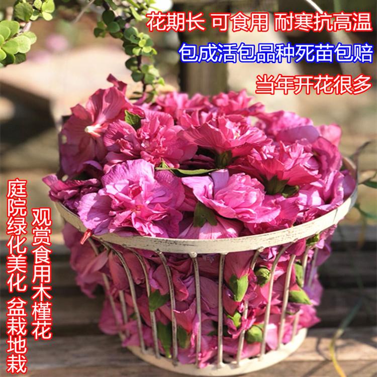 木槿树苗红色白色重瓣多花食用木槿花苗庭院阳台盆栽地栽花园植物