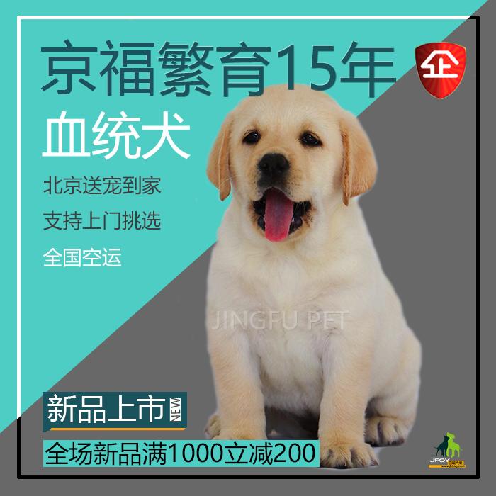 拉布拉多幼犬纯种两个月黄色活物神犬小七狗幼崽大型宠物出售免邮图片