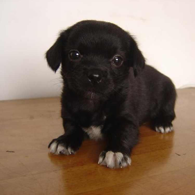 Adopt Chinese garden dog, native dog, pup, cheap and lovely pet hound, mixed breed, live dog