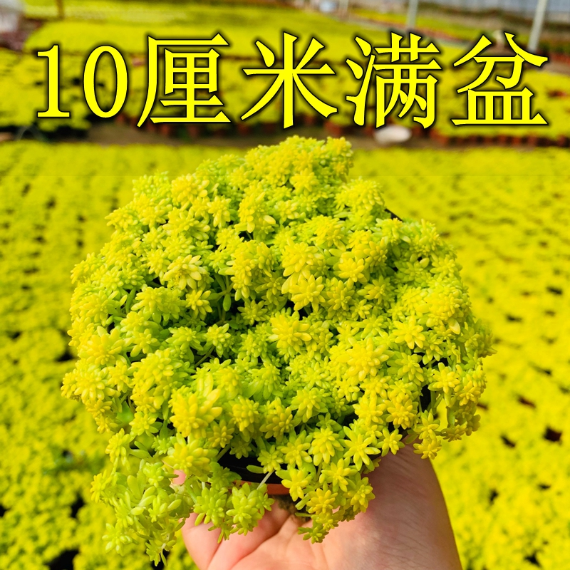 Thin snow golden perennial succulent plant with pot with soil radiation radiation radiation office balcony living room combination potted plant