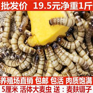 大麦虫活虫500g鲜活面包虫活体饲料