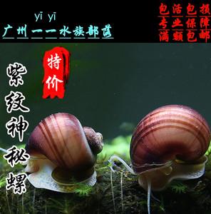 神秘螺观赏螺活体工具螺除藻螺苹果螺紫纹螺斑马螺螺丝蜗牛宠物螺