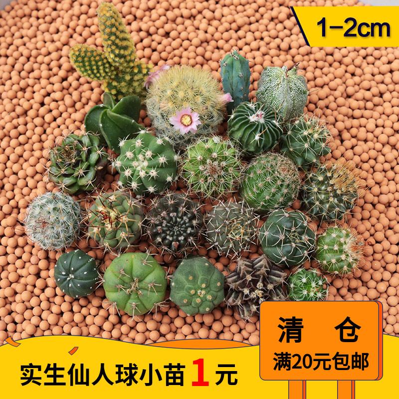 实生仙人球小苗 星兜开花稀有品种苗鸾凤玉仙人掌组合新手小盆栽