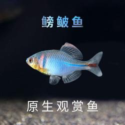 鳑鲏鱼旁皮鱼观赏鱼冷水鱼原生鱼除藻鱼练手鱼清道夫好养鱼金苔鼠