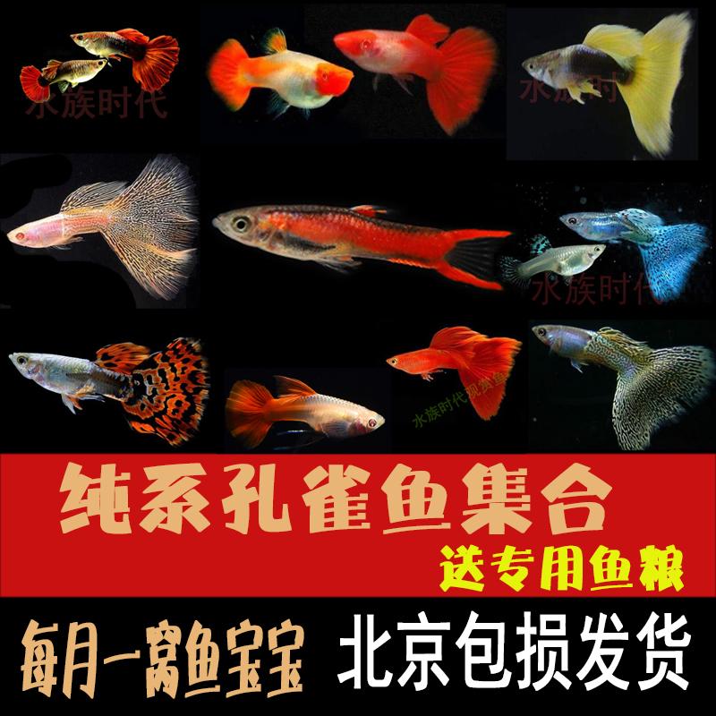 热带观赏孔雀鱼纯种胎生怀孕母临产特大练手杂袍蓝草尾金鱼小型公