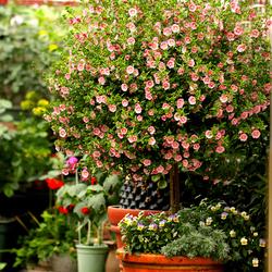 小木槿棒棒糖 微草莓 四季开花盆栽庭院花卉宿根耐寒耐热植物带盆