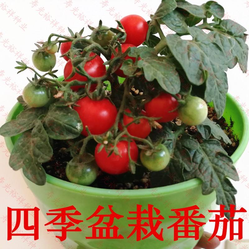 四季播蔬菜矮生盆栽番茄种子草莓红黑紫菜种苗樱桃小西红柿圣女果