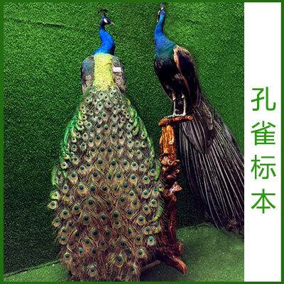 Natural blue peacock specimen white peacock feather simulation bird animal specimen decoration handicraft
