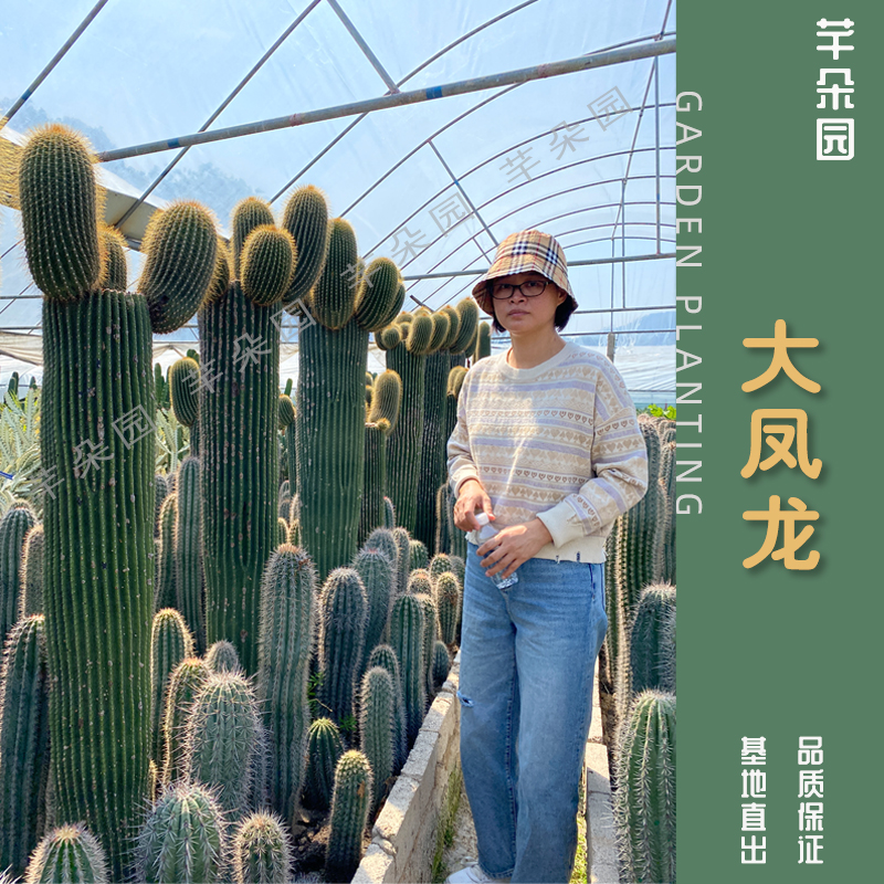 大鳳竜仙人柱多肉植物大型サボテン神竜木仙人柱北欧風帯横芽仙人柱