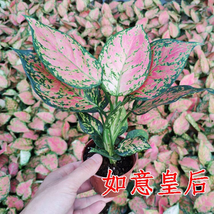 如意皇后 吉利红 万年红 盆栽花卉室内客厅观叶绿植盆景桌面植物