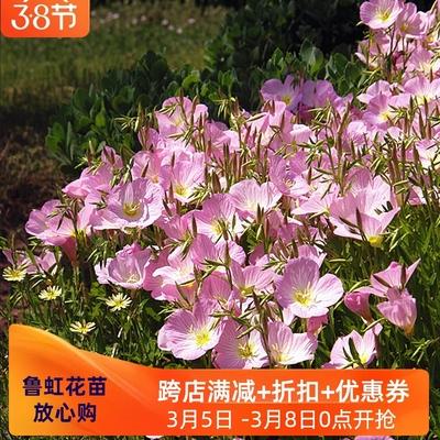 美丽月见草p6cm盆苗   多年生耐寒宿根花卉  初盈白花月见草盆苗