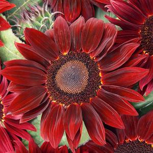 红色向日葵种子鸿运向日葵花种籽观赏阳台庭院盆栽易活花20粒春播