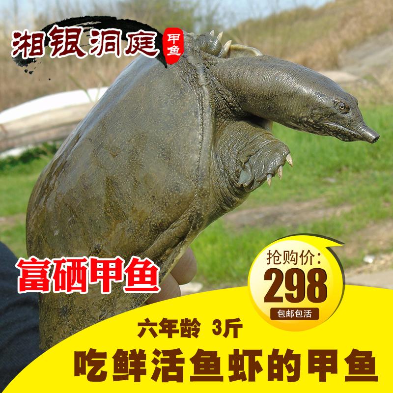 包邮五年龄3斤洞庭湖生态甲鱼团鱼水鱼王八中华鳖 野外生长活体