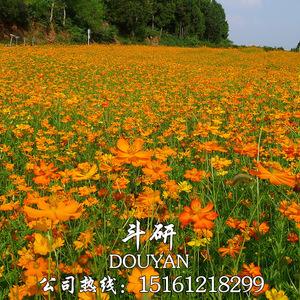 硫化菊种子黄波斯菊花种子黄秋英花籽 硫华菊种子四季易种 耐贫瘠