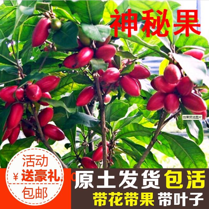 神秘果树苗四季开花当年结果变味果盆栽果树带叶带花带果包邮包活