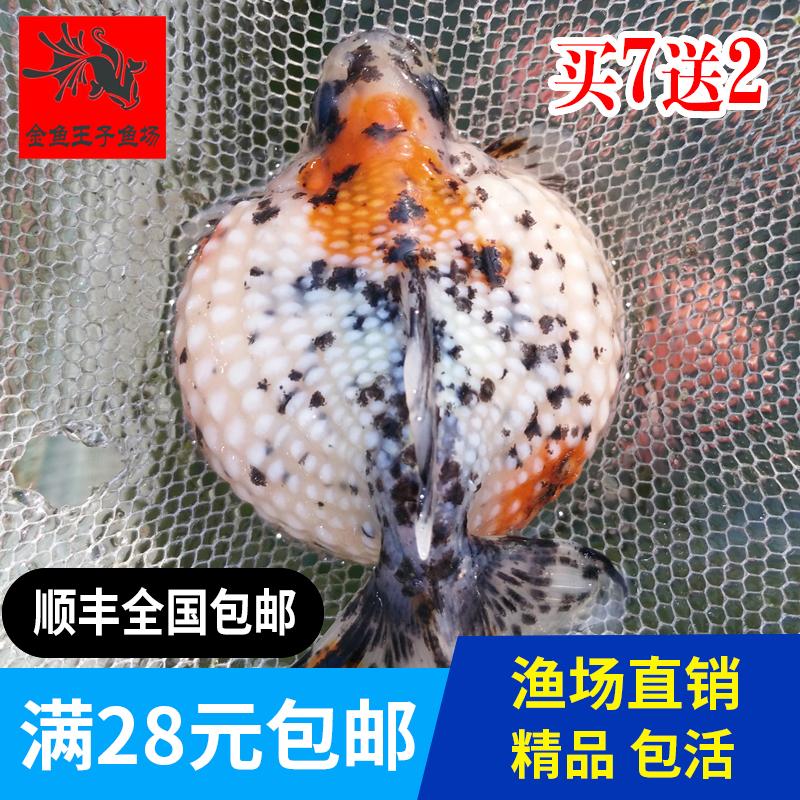 珍珠精品金鱼观赏鱼宠物鱼活体鱼苗花鱼苗包活招财鱼冷水淡水发财