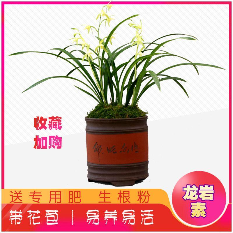 兰花龙岩素建兰盆栽室内四季花卉观花绿植市长红兰草兰花
