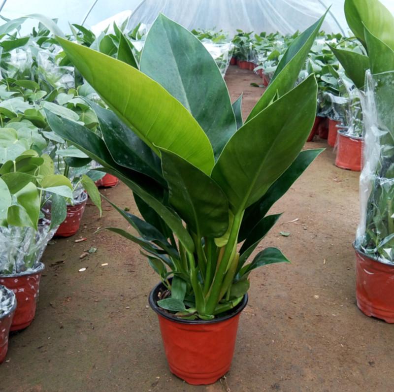 大叶金钻称辟邪王可四季常青吸甲醛家庭办公室内花卉绿色植物盆栽