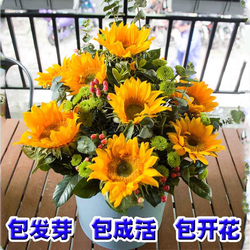 观赏矮向日葵种孑四季开花种子易活盆栽花卉室内阳台迷你花种籽子