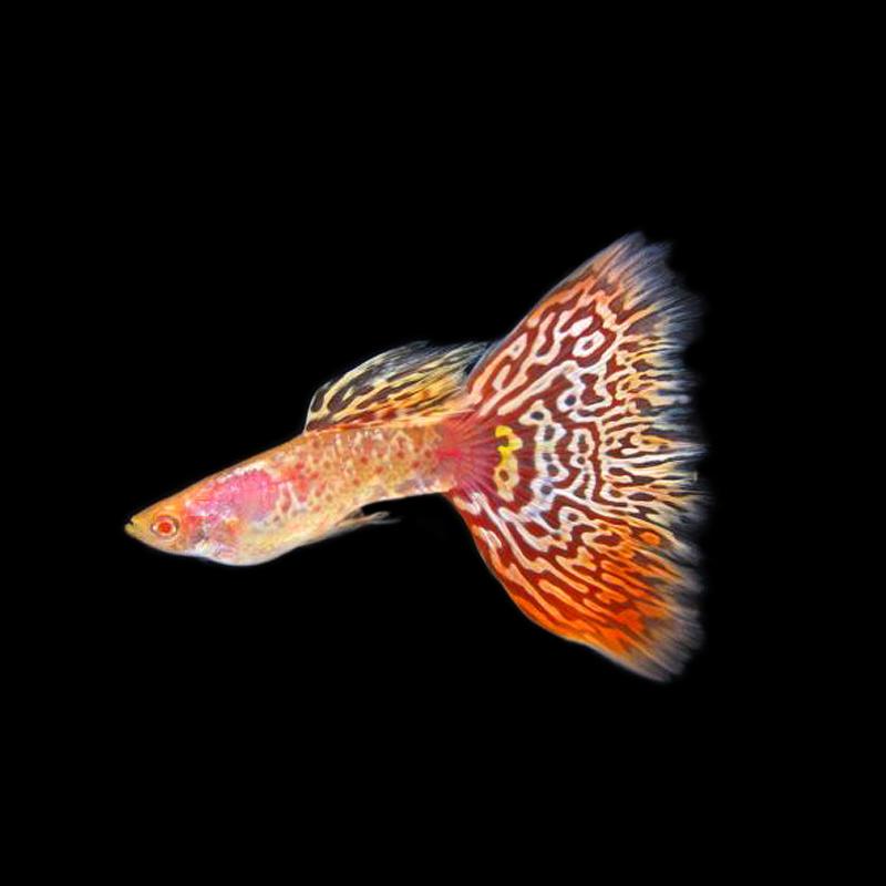 台湾进口樱花精品孔雀鱼热带鱼凤尾鱼小型淡水鱼纯种活体宠物包邮