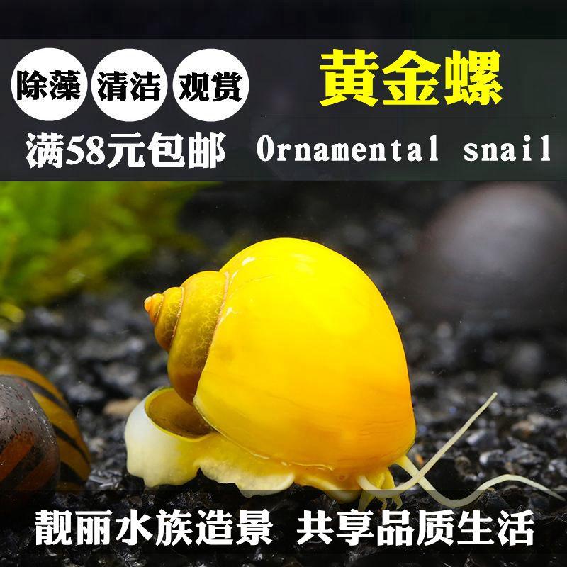 黄金螺观赏螺大型大号宠物蜗牛活体水族淡水草缸鱼缸壁清洁除藻螺