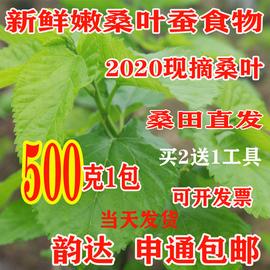 新鲜桑叶食物蚕宝宝套装农家现摘嫩桑叶桑树叶500克1斤送工具包邮图片