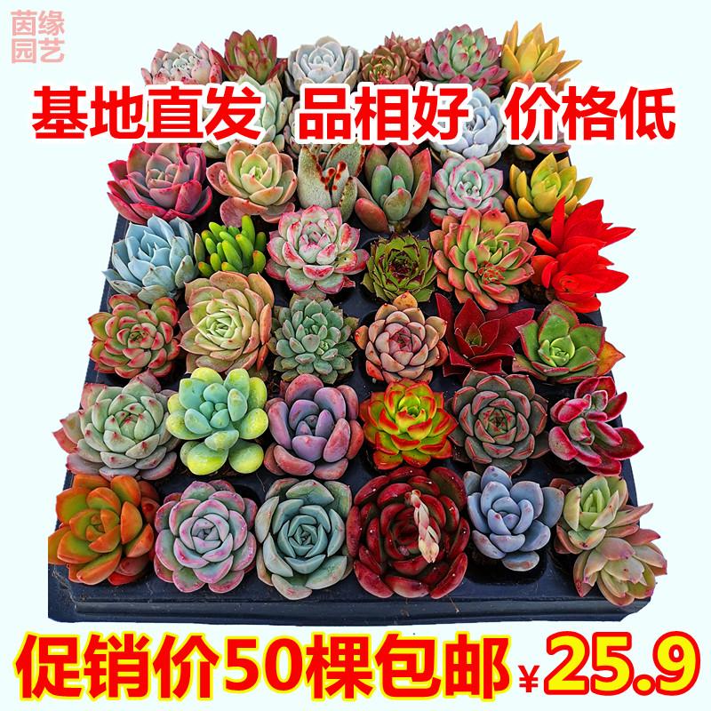 茵缘园艺50颗多肉植物实惠套餐超值超大不同贵货促销组合盆栽包邮