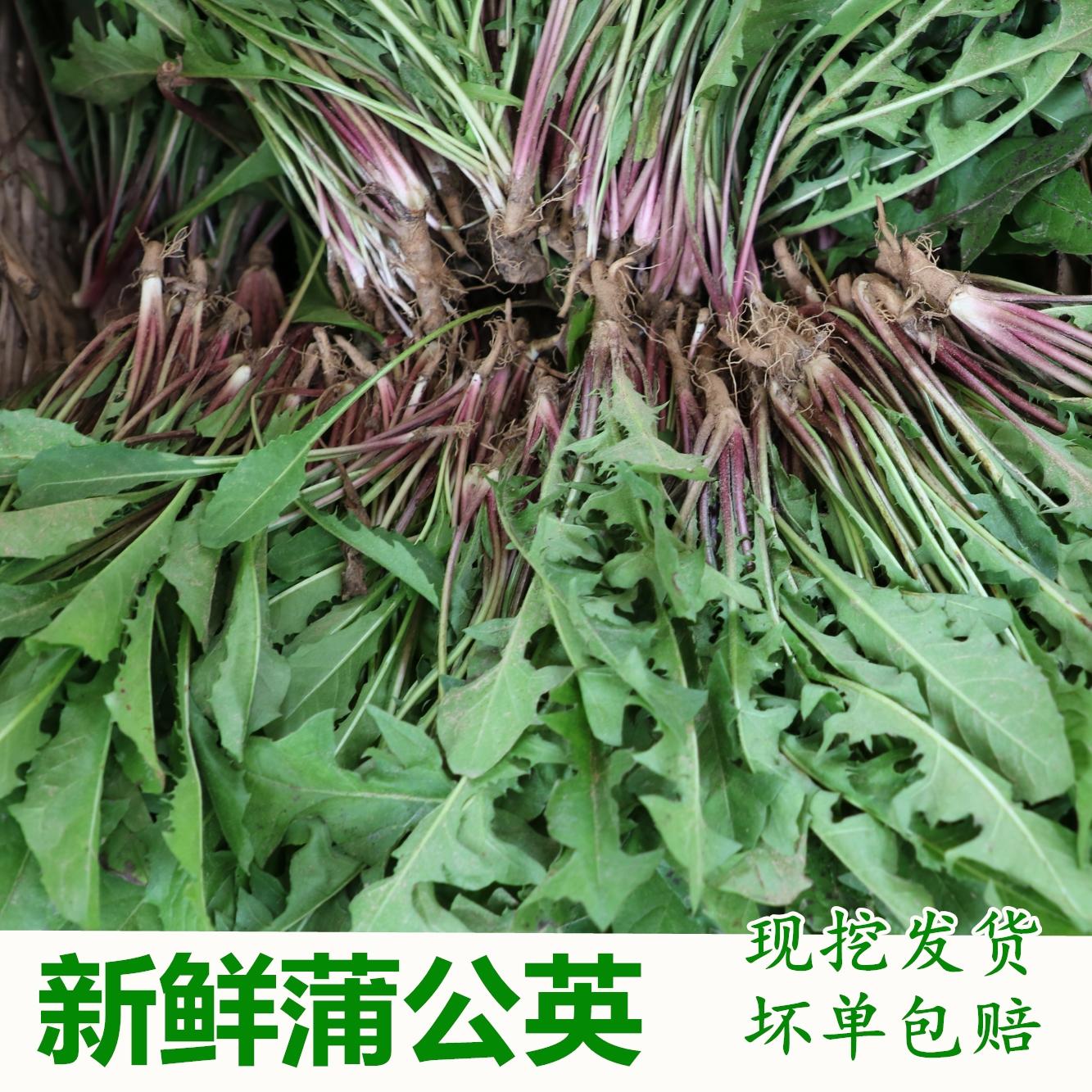 新鲜野生蒲公英500克苦苣菜蒲公英苦苦菜 婆婆丁黄花地丁野菜