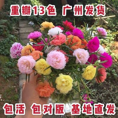 重瓣太阳花苗盆栽带根带花苞七彩马齿苋宿根进口新品针叶牡丹冲量