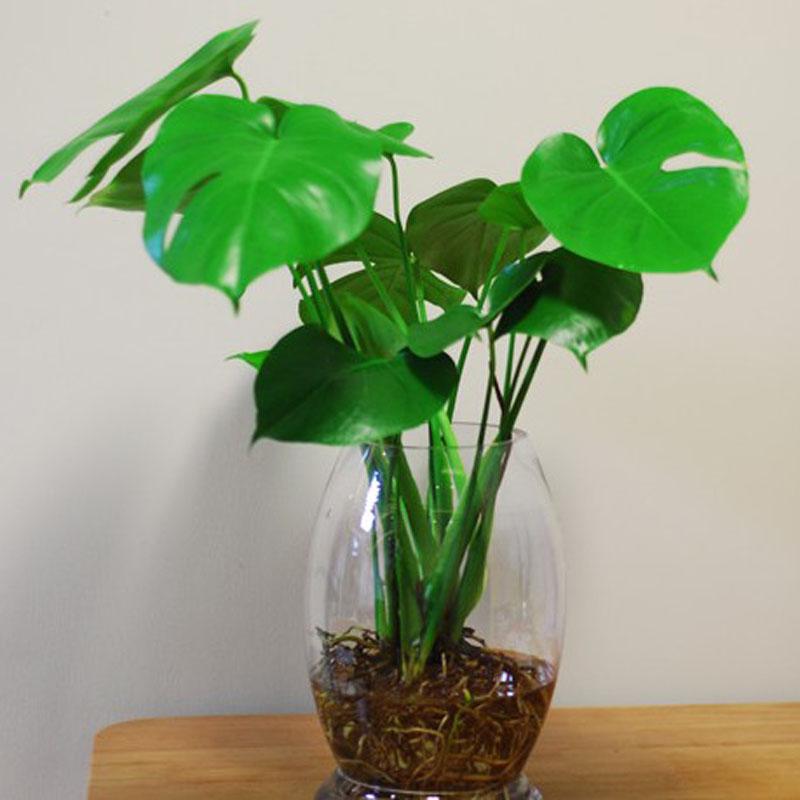 观叶植物 龟背竹 水培 水生 水养 室内盆栽绿植净化空气吸甲醛