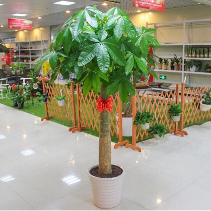 发财树盆栽花卉室内植物南方红豆杉苗 绿萝大型绿植 净化空气