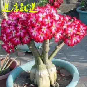 沙漠玫瑰 室内观叶观花植物 耐阴花卉 多肉桌面绿植 盆栽包邮